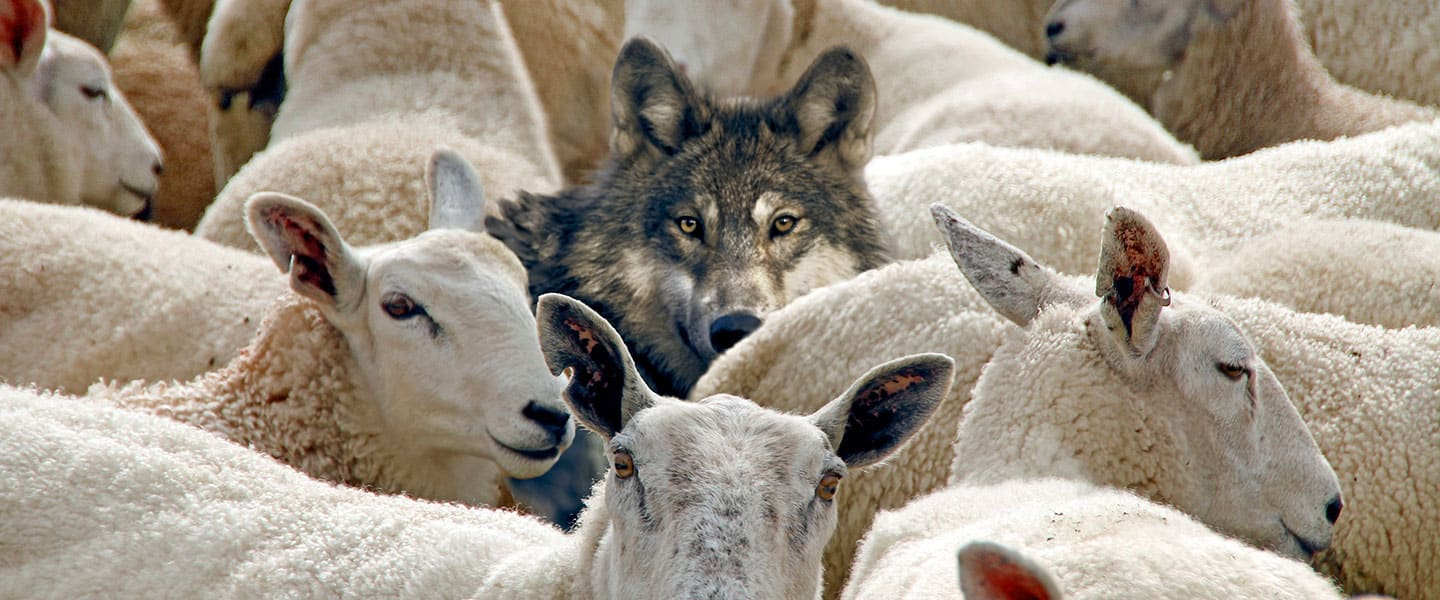 Sheep Amongst the Wolves